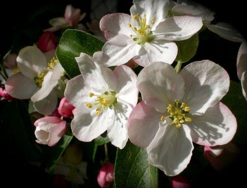 obuolių žiedas,obuolys,pavasaris,žiedas,žydėti,Obuolių medis,gamta,žiedas