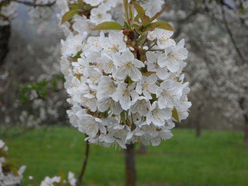 apple blossoms apple tree apple tree blossom