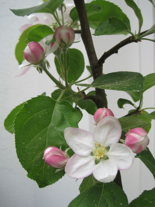 apple blossoms spring pink