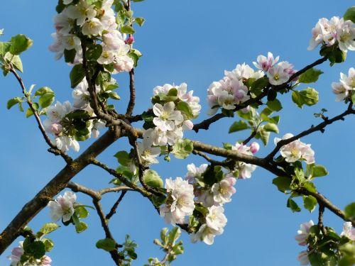apple blossoms branch apple tree