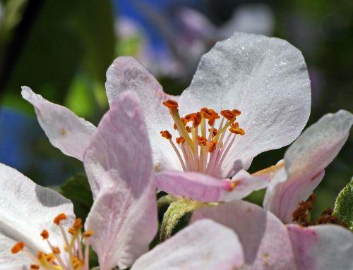 apple blossoms macro close