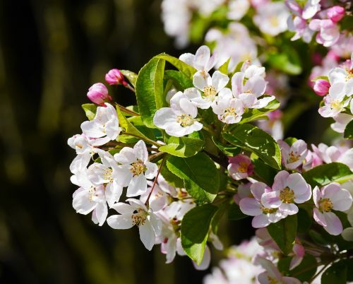 apple blossoms apple tree petals