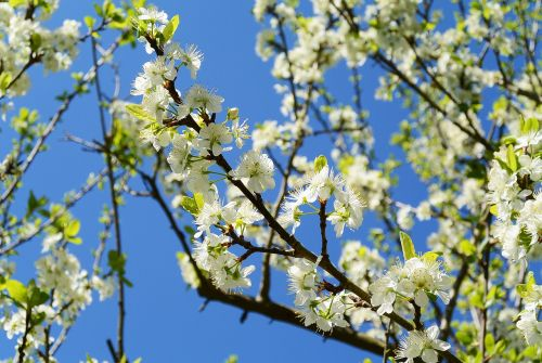 apple blossoms spring white