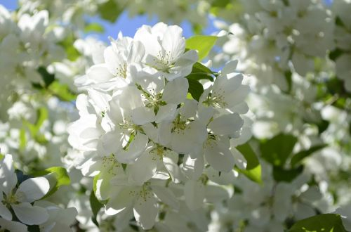 apple blossoms spring tree