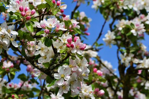 apple blossoms  apple tree  tree blossoms