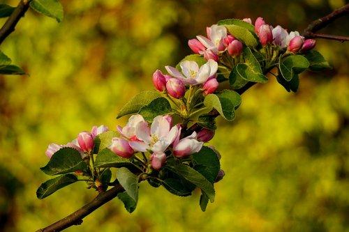 apple blossoms  flowering twig  tree