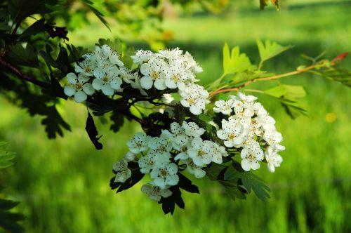 apple blossoms spring flower blossom