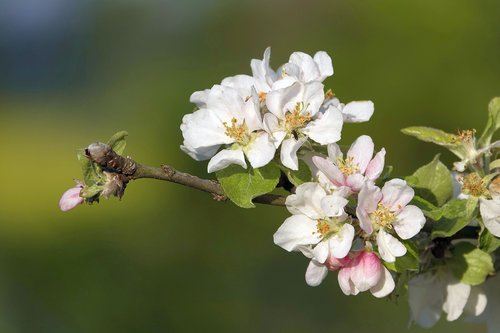 apple blossoms  branch  spring blossoms