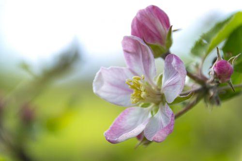 apple flower flowering crabapple flower