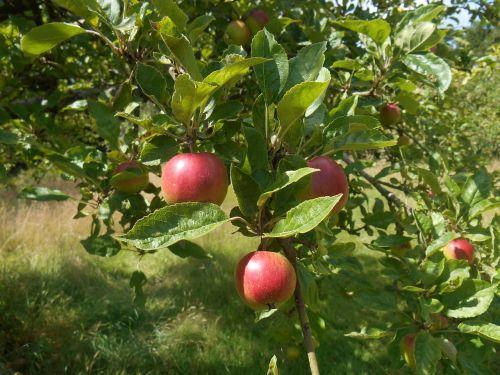 apple tree tree orchard