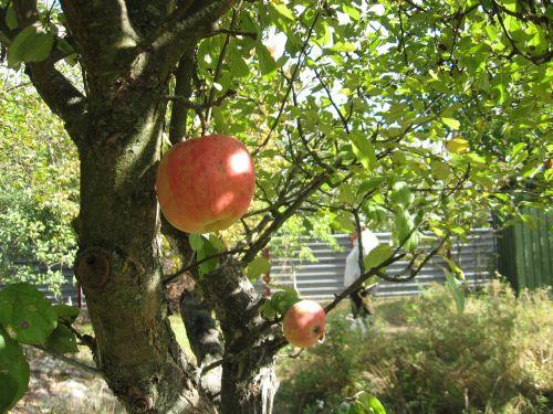 apple tree garden dacha