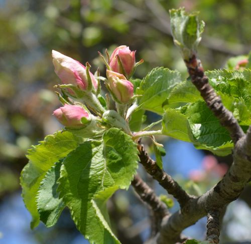 apple tree blossom bloom