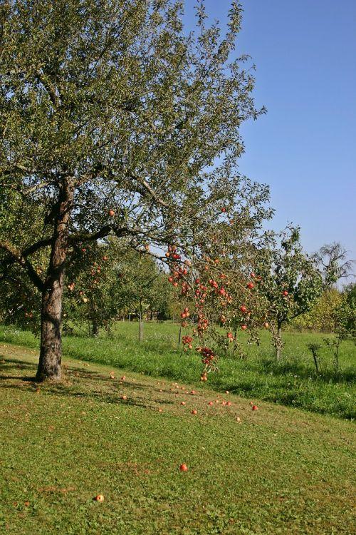 apple tree fruit tree nature