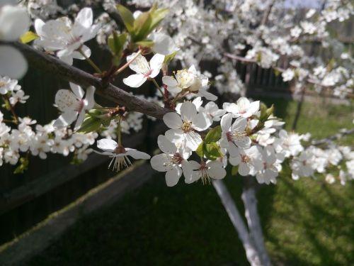 apple tree apple blossoms flowers