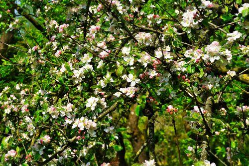 apple tree apple tree blossom blossom