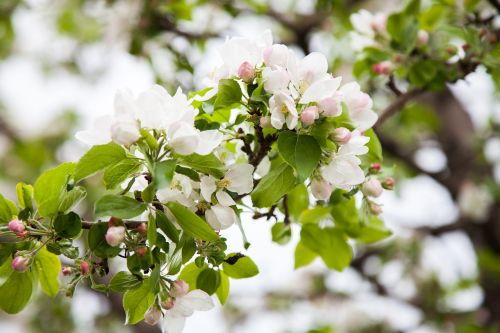 apple tree bloom apple-blossom
