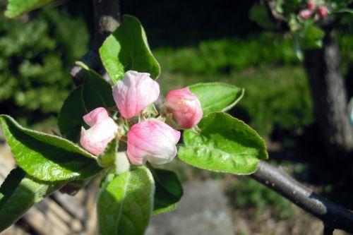 apple tree apple blossom blossom