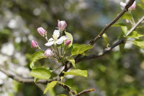 apple tree blossom flowers