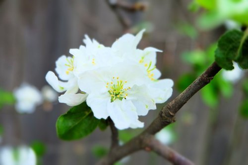 apple tree  flowers  bloom