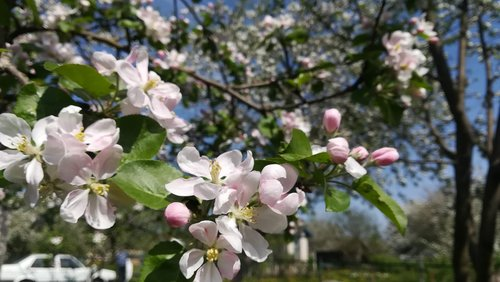 apple tree  flowers  apple blossoms
