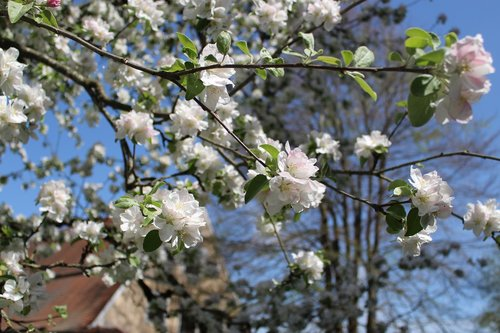 apple tree  apple blossoms  apple tree flowers