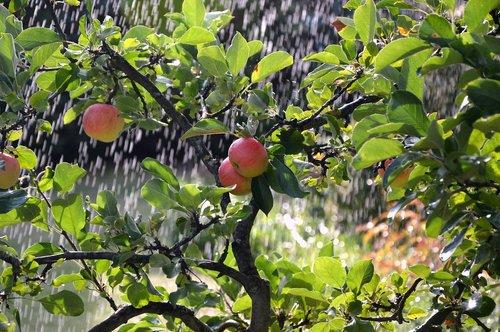 apple tree  apple  irrigation background