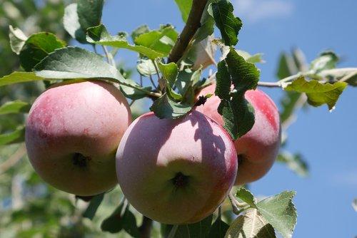 apple tree  fruit  crabapple tree