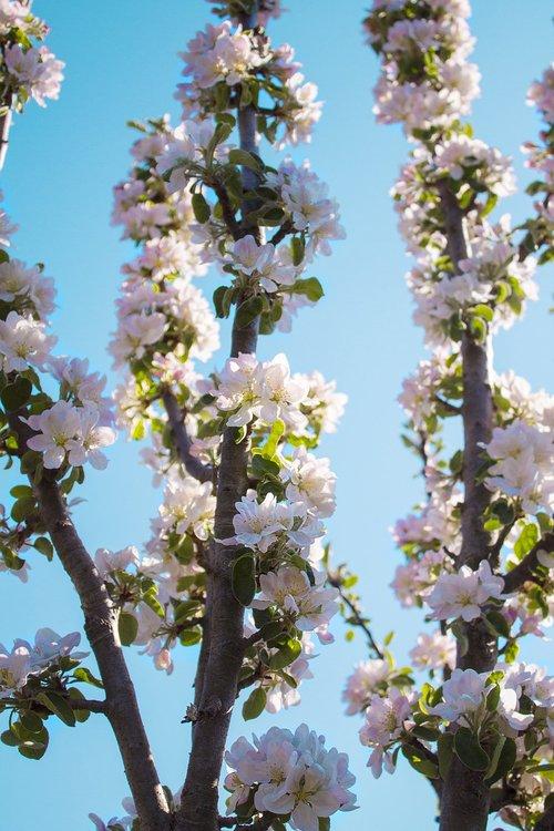 apple tree  spring  branch