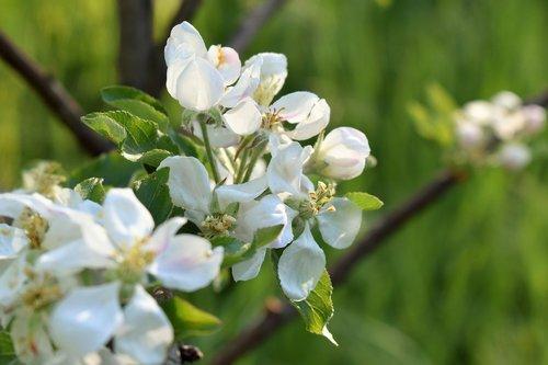 apple tree  tree  branch
