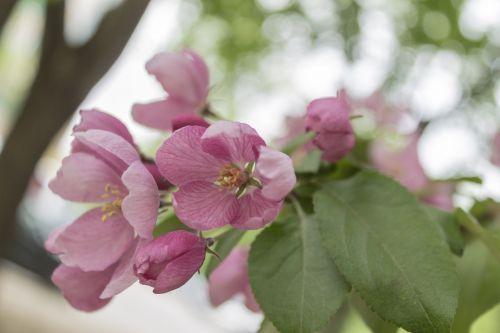 Obuolių medis,gėlės,žydėti,pavasaris,filialas,sodas,obuolių gėlė,medis,gėlė,žydintis medis