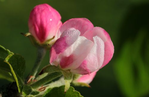 apple tree blossom apple tree apple blossom