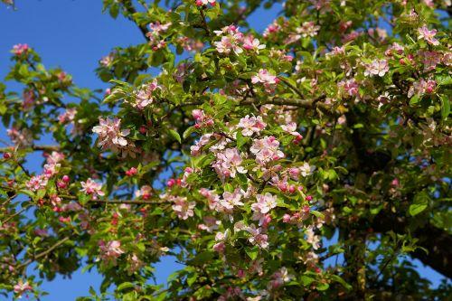 obelų žiedas,Obuolių medis,obuolių žiedas,žiedas,žydėti,pavasaris,gamta,vaisių sodas,balta,obuolys,žydėti,filialas,pavasario gėlė,vaismedis,Uždaryti,rožinis,medis