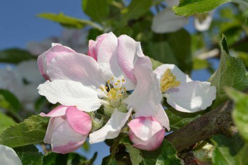 apple tree blossom apple blossom blossom