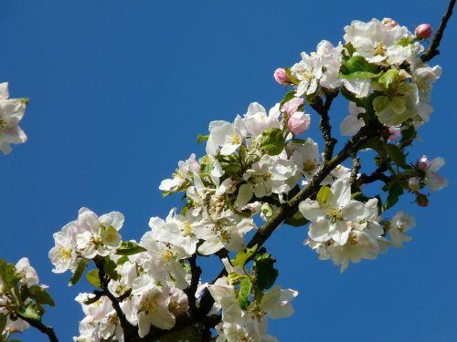 obelų žiedas,obuolių žiedas,žiedas,žydėti,pavasaris,obuolys,Obuolių medis,gamta