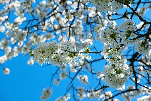apple tree blossom  apple tree  spring