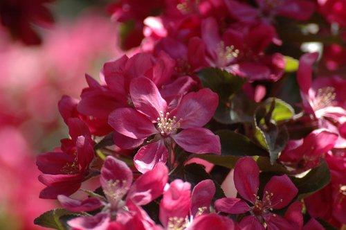 apple tree flower  malus  spring