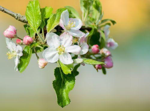 apple tree flowers apple tree white blossom