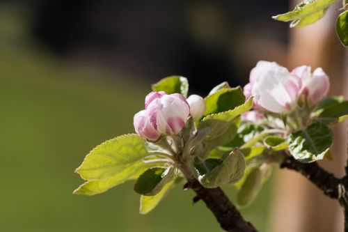 apple tree flowers apple tree branch