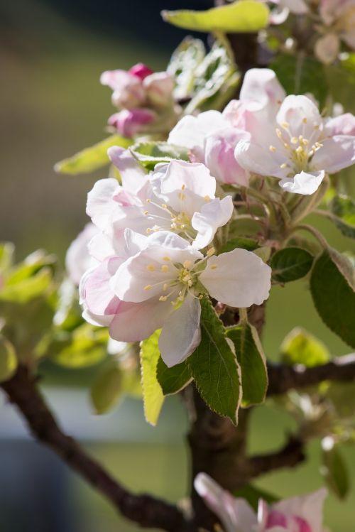 apple tree flowers tree blossoms apple blossom