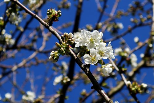 apple tree flowers  apple tree  branch