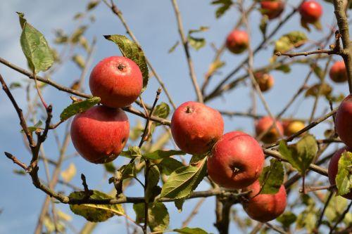apples fruit autumn