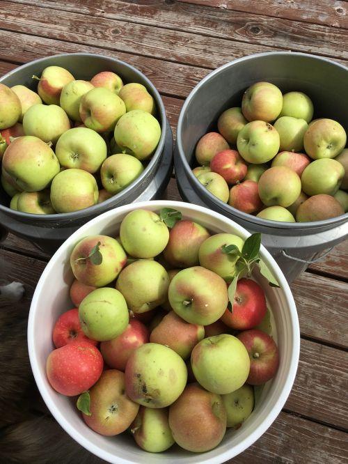apples farm fall