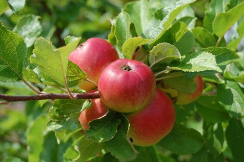 apples fruit fruit trees