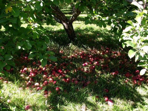apples nature tree