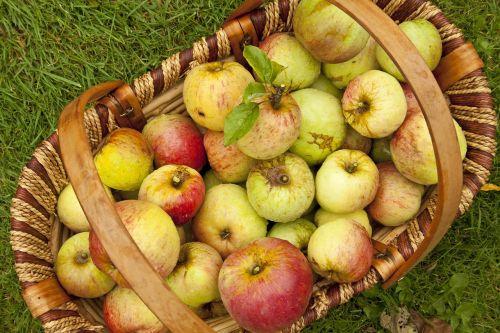 apples english apples harvest
