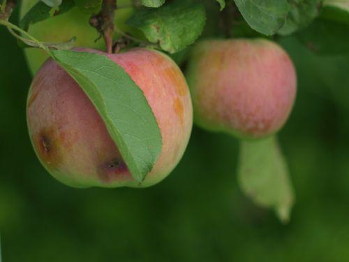 apples apples on a branch garden