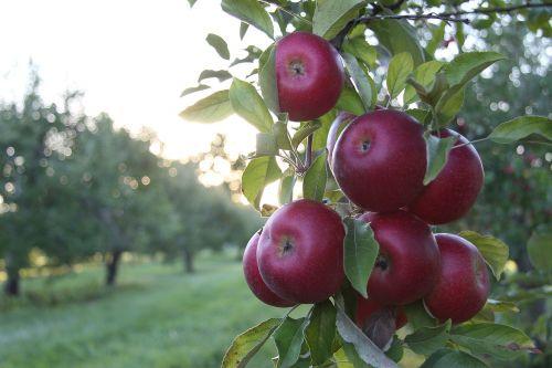 apples orchard sunlight