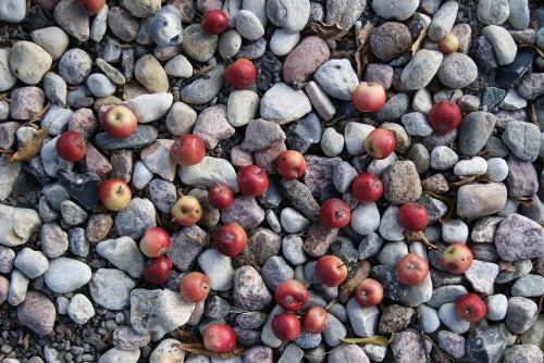 apples the stones nature