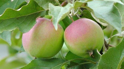 apples  apple  on the tree