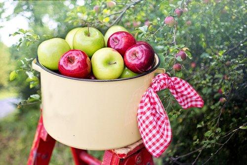 apples  apple orchard  apple picking